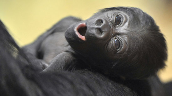 Awwdorable Baby Gorilla Can Say Bananas