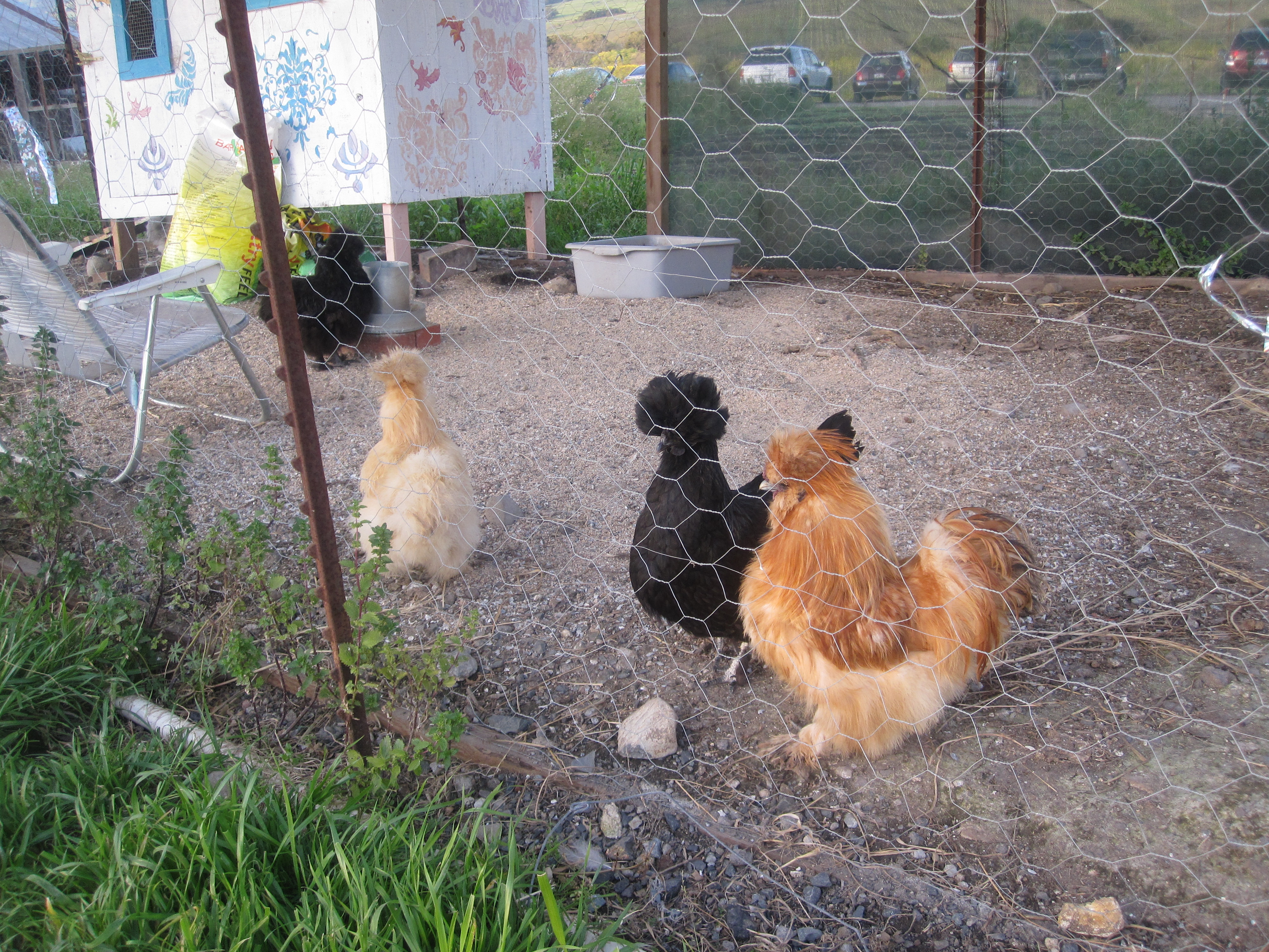 Upon arriving at the location of the barn dance, Green String Farm, I was greeted by the world's most adorable chickens!