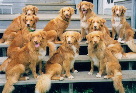 Facts About Nova Scotia Duck Tolling Retrievers