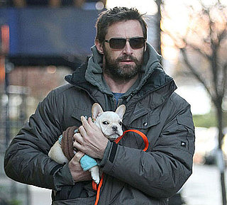 Hugh Jackman's New Dog and Pictures of Hugh Jackman and His New Dog, a French Bulldog Puppy