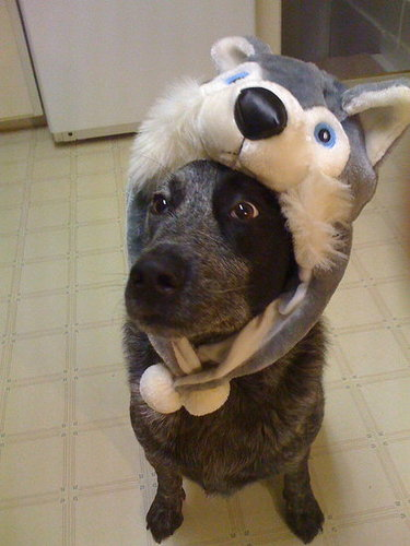 Ringo wearing a Husky