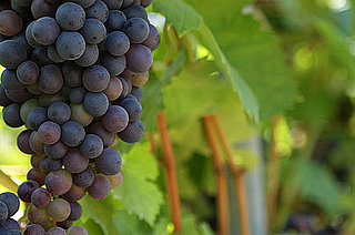 Wine Quiz on Red and White Grapes