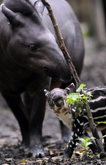 Tapirs love water, and often use their snouts as snorkels to breathe while they swim.