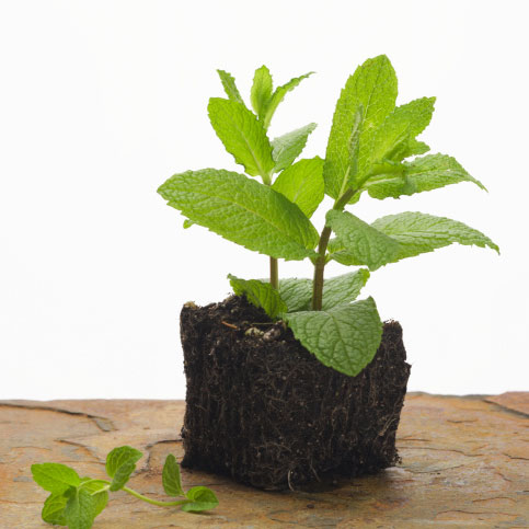What to Make With Mint