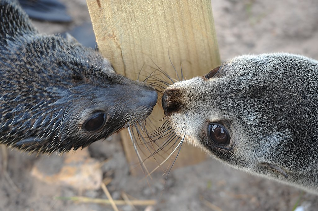 He's going in for a kiss! Typical seal behavior.