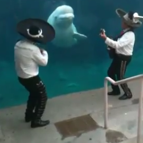Mariachi Plays Music For Beluga Whale Video