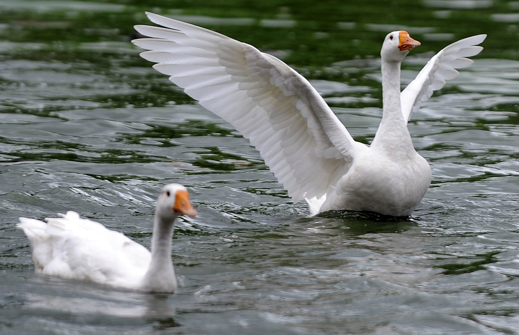 Flapping Wings