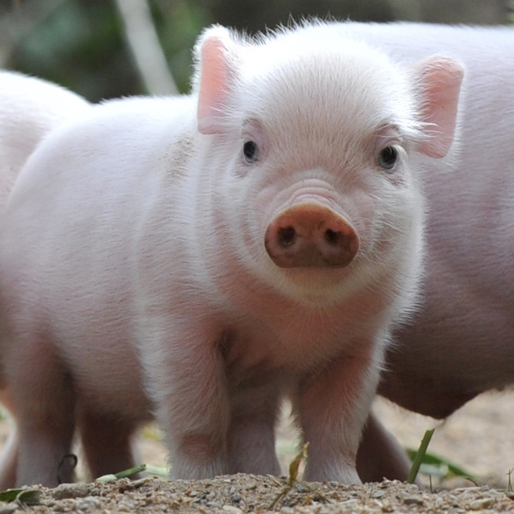 Cute Piglets Names Cute Piglets at The Zoo