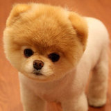 Cutest Pomeranian Dog Boo's Best Photos of 2011