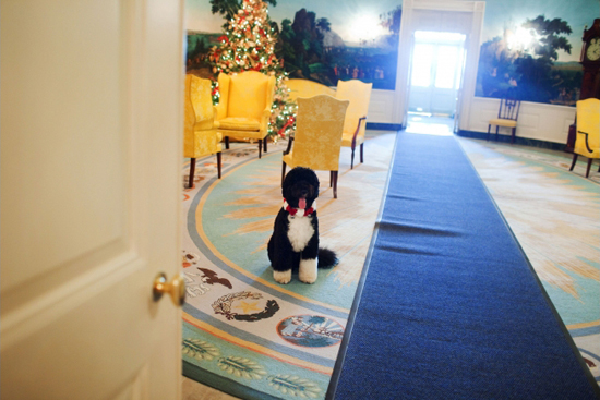 Bo looks picture-perfect beneath the Christmas tree in the White House's Diplomatic Reception Room. Source: Official White House photo by Samatha Appleton