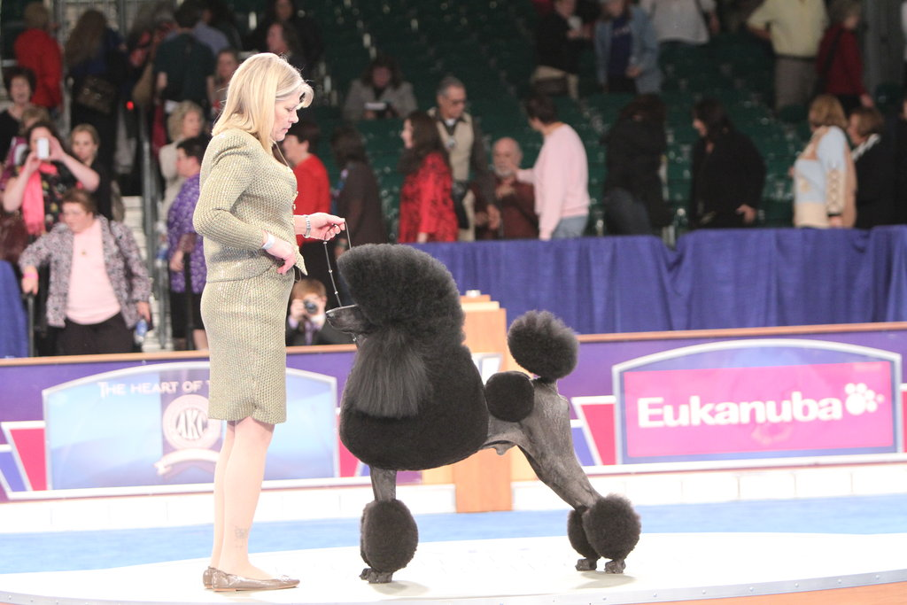 Striking a pose for the Non-Sporting group, Standard Poodle London (GCH CH Jaset's Satisfaction) is dressed to the nines for his big day. Source: AKC/Robert Young