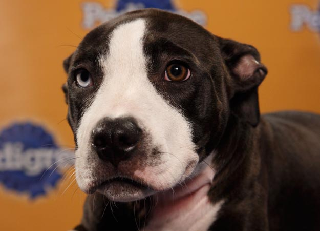 Malie, a pit bull mix, switches things up with her lovely two-colored eyes. Source: Animal Planet