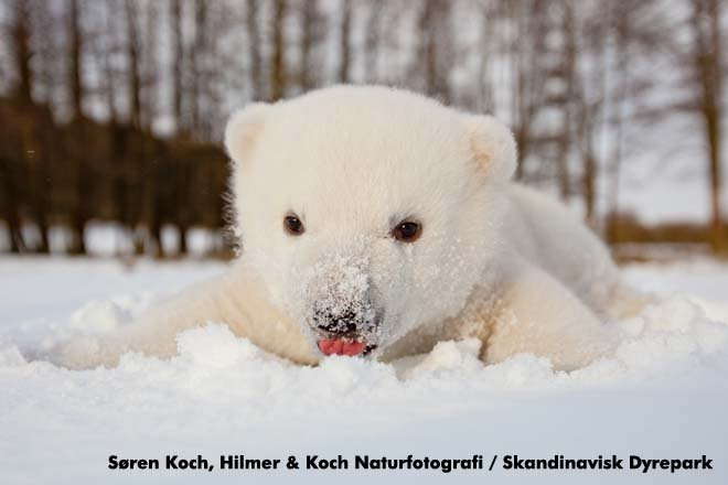 Siku The Baby Polar Bear In The Snow Pictures Popsugar Pets