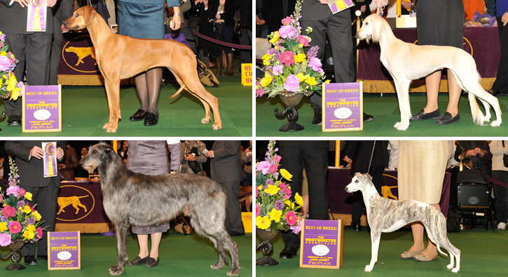Best of Breed: Hound Division