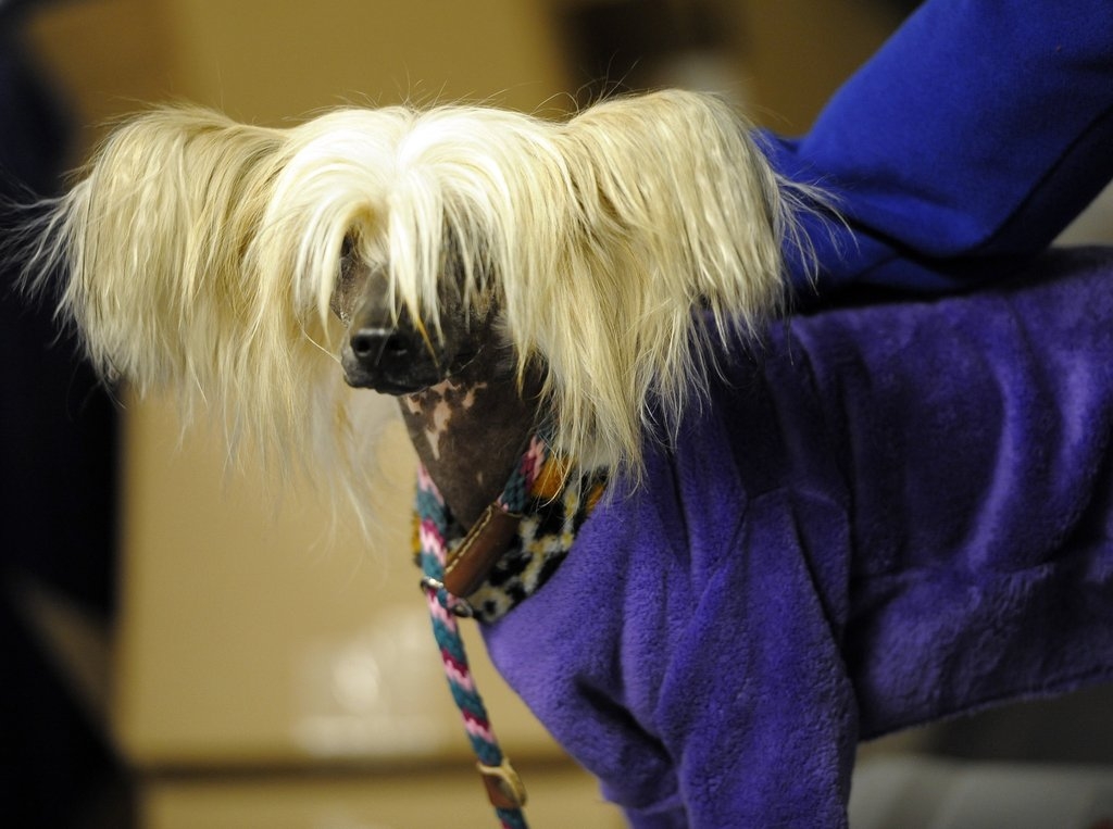 Clara, a Chinese Crested Terrier, cozies up in PJs while she waits her turn.