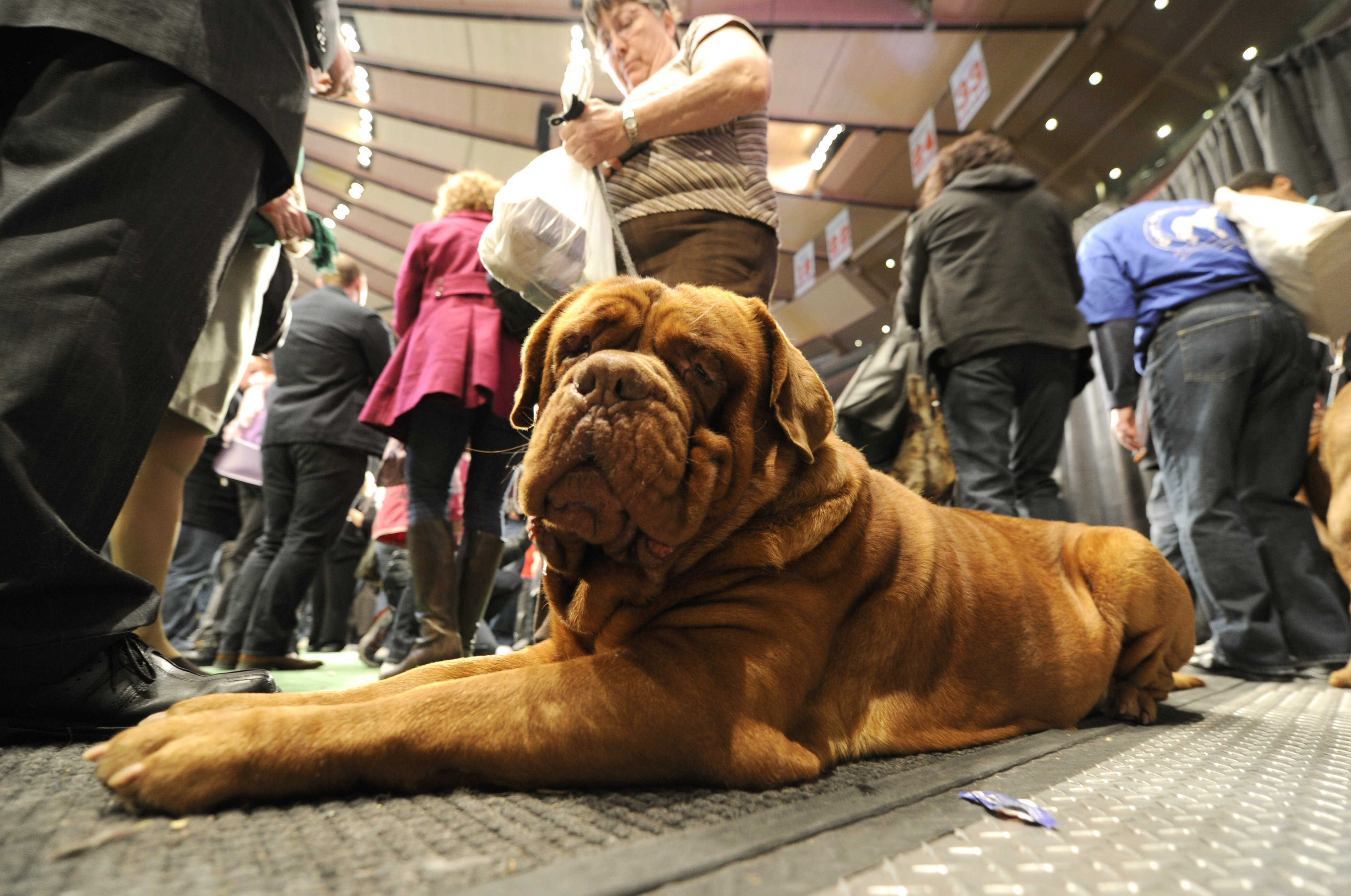 A Dogue de Bordeaux isn't fazed by all the attention.