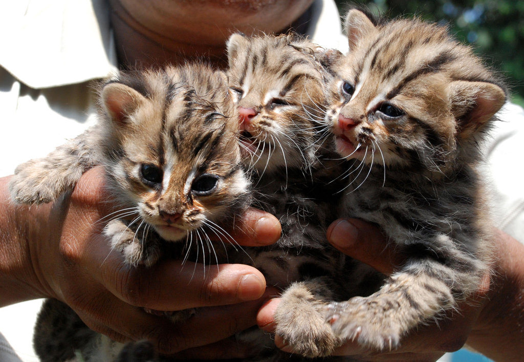 A trio of cubs at Assam State Zoo in Guwahati, India, are the hope to help rebuild the population of a species that's considered critically endangered.