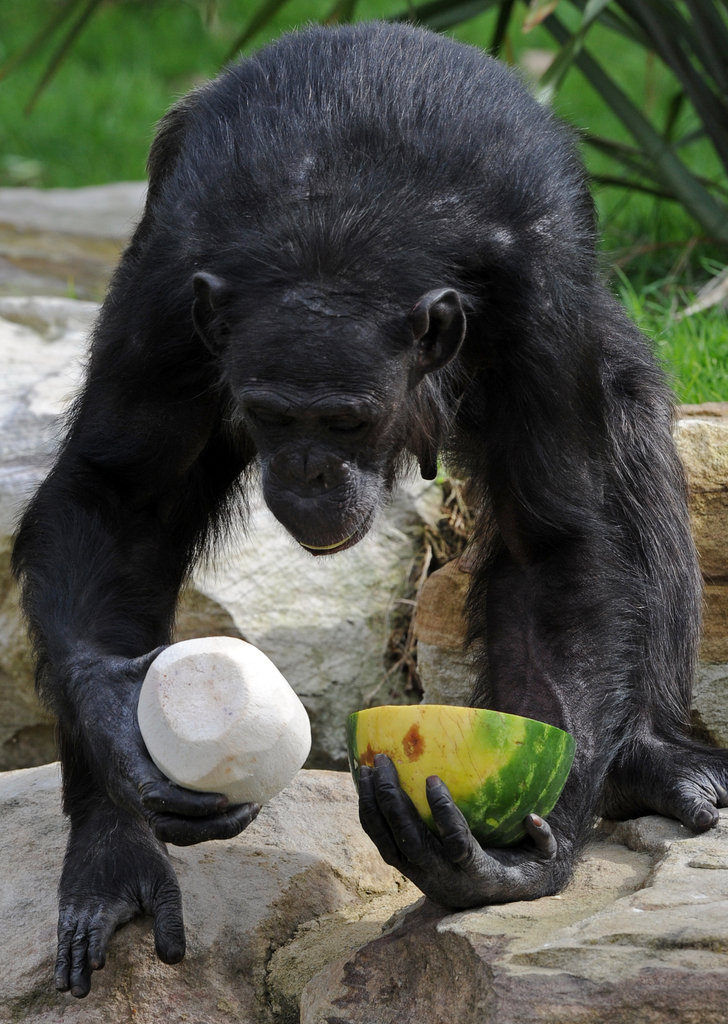 Decisions, decisions . . . a chimpanzee struggles to choose between a cool coconut and chilly watermelon at the Taronga Zoo in Sydney.