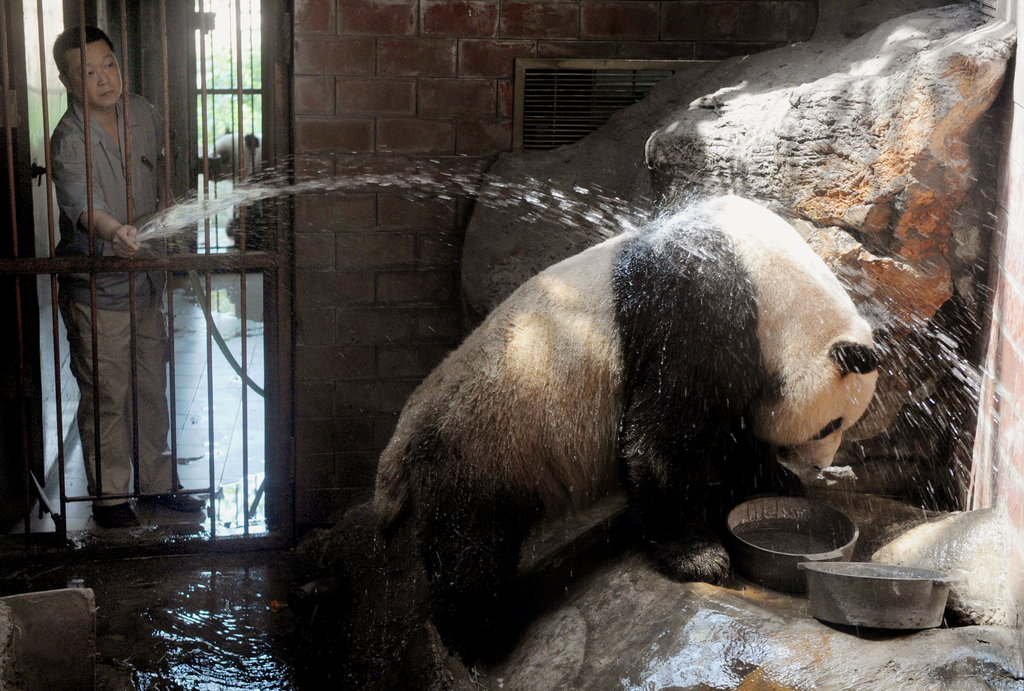 In Beijing, a giant panda helps himself to a hose-down.