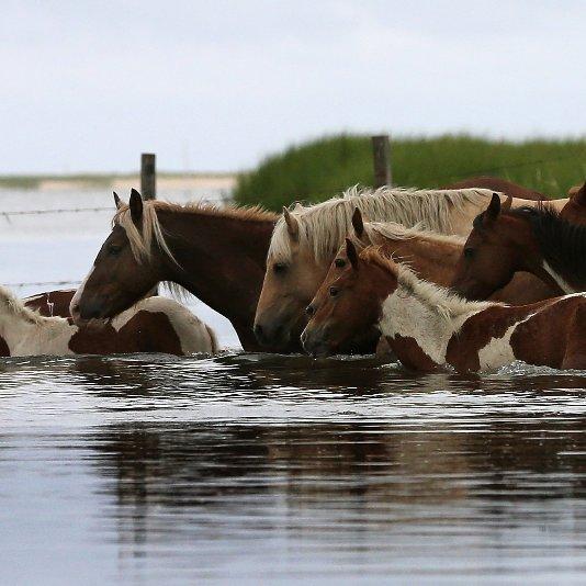 Chincoteague Pony Swim 2012 | Pictures