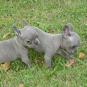 Globetrotters: Meet True Blue French Bulldog Pups
