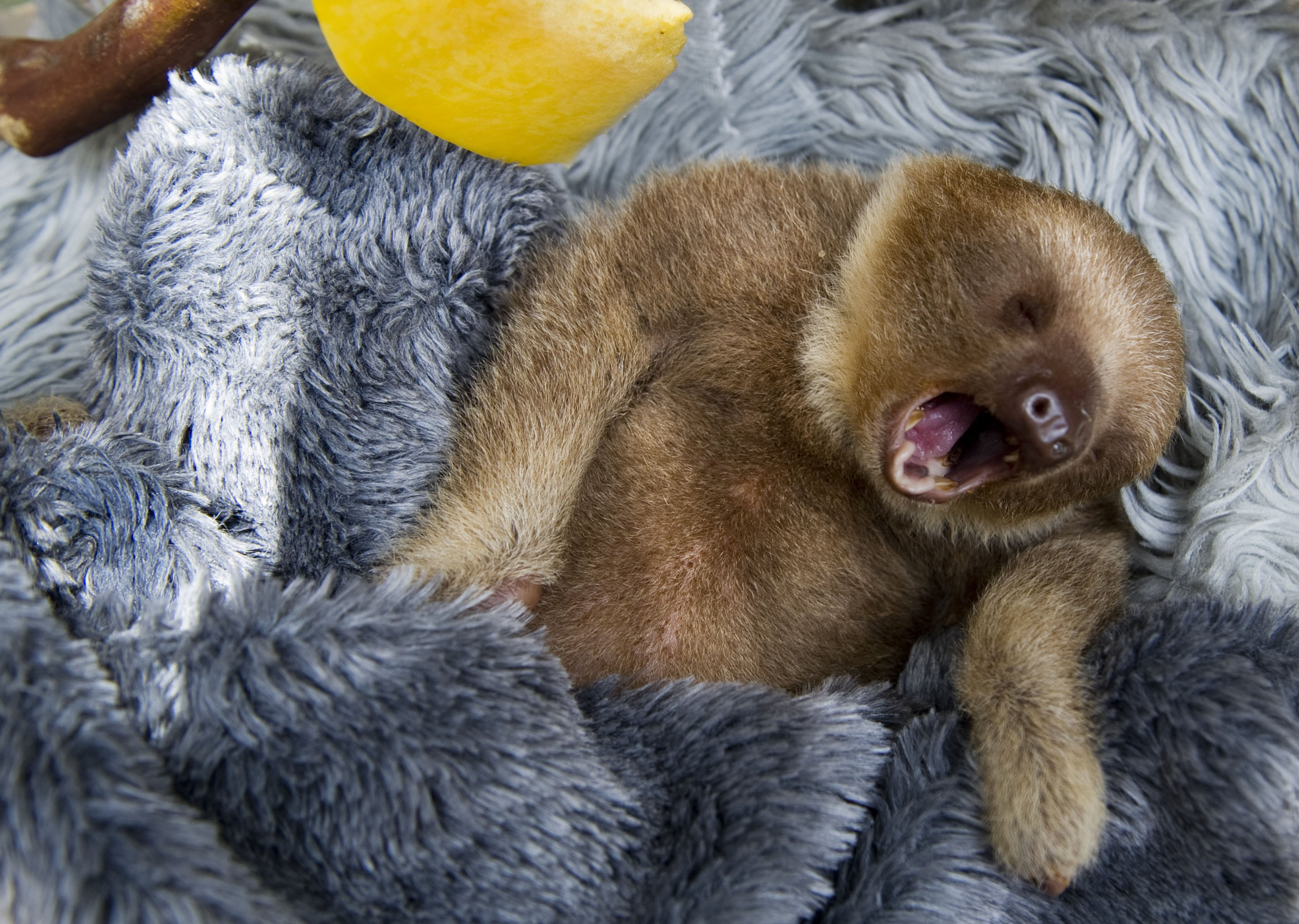 Yawn! This baby two-toed sloth at Aiunau Foundation in ...