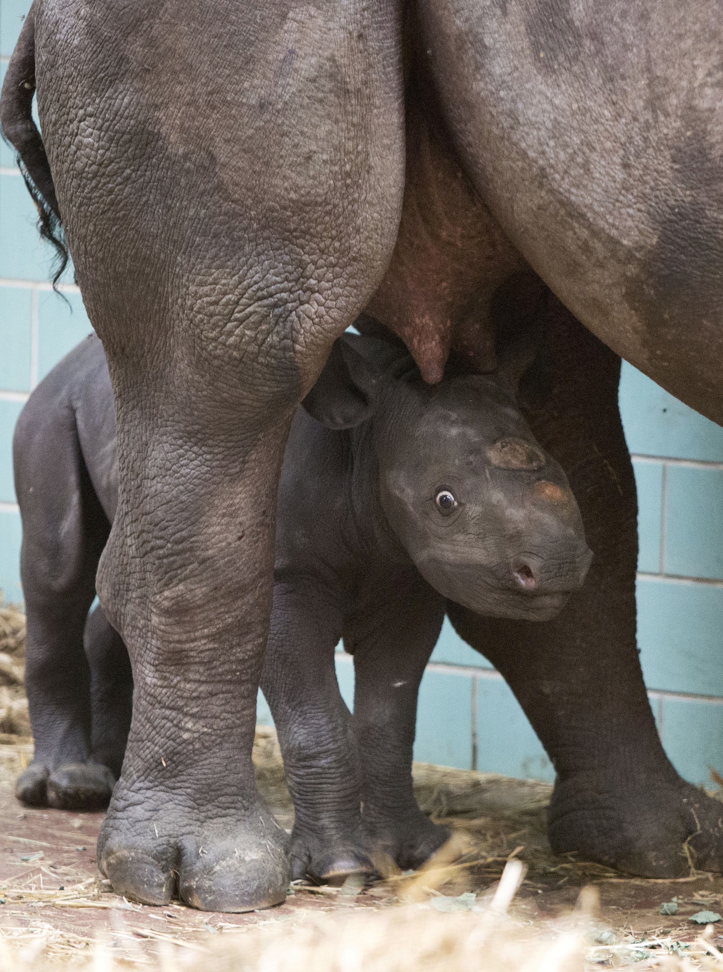 A 5-day-old, wide eyed black rhino takes in all of the new sights.