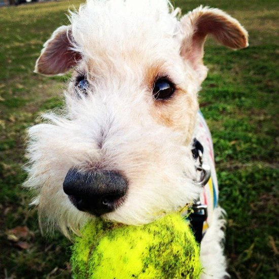 Wire Fox Terrier Wins 2012 National Dog Show