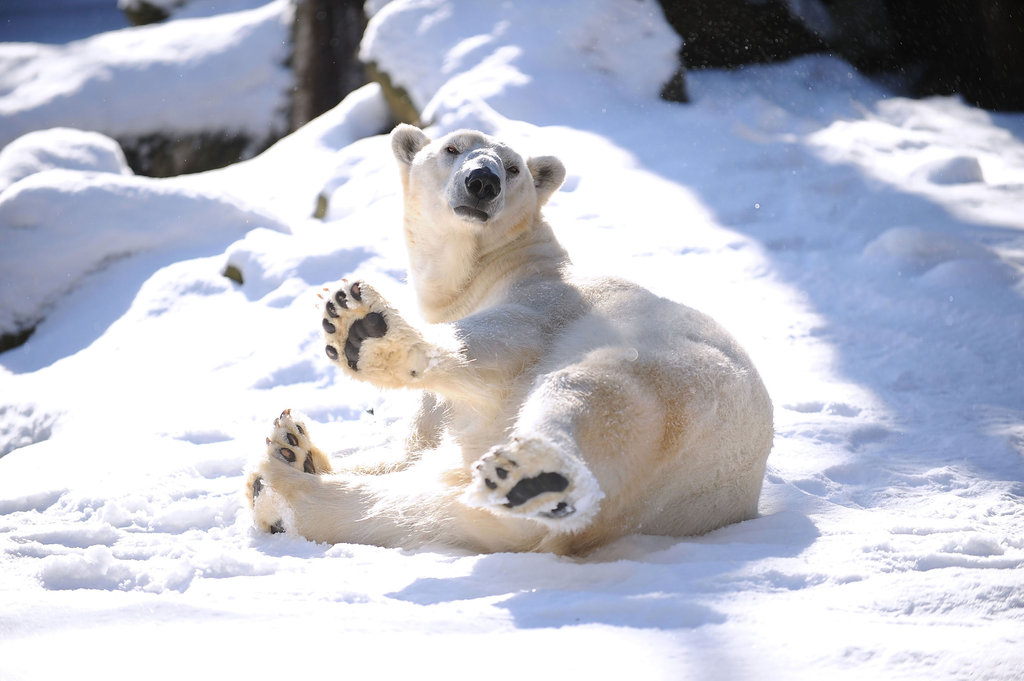This polar bear at the Bronx Zoo had a grand old time lounging in the snow.