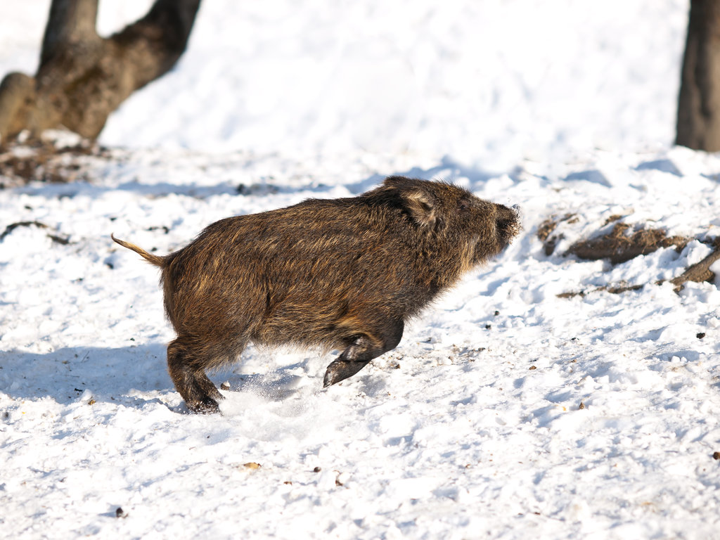 The wild boar jumped for joy.