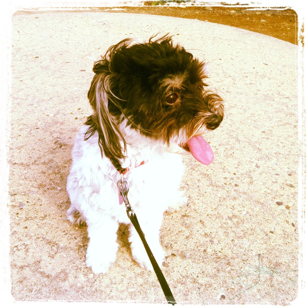 Creative Services Manager Kaitlin Blankemeier shared an Instagram of her loveable little Havanese, Lily.