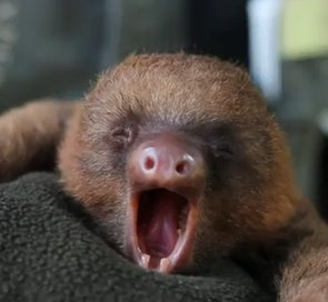 Yawning Baby Sloth Will Put a Big Smile on Your Face (VIDEO)