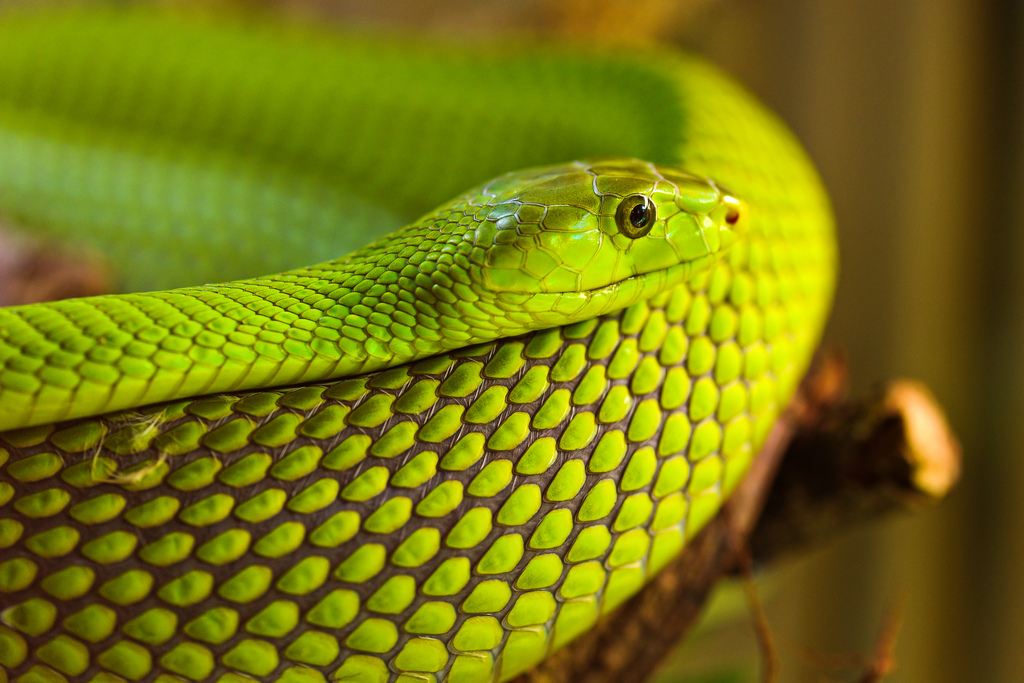 Without an enlarged cerebral hemisphere, which is found in birds and mammals, snakes aren't able to learn or really think about much — other than curling up in the sun for a long nap. Source: Flickr user Tambako the Jaguar