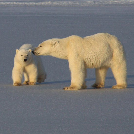 To the Arctic Movie Polar Bear Pictures