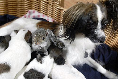 This family of Papillons has an adopted member: a baby squirrel named Finnegan! Source: Flickr user frankdtito