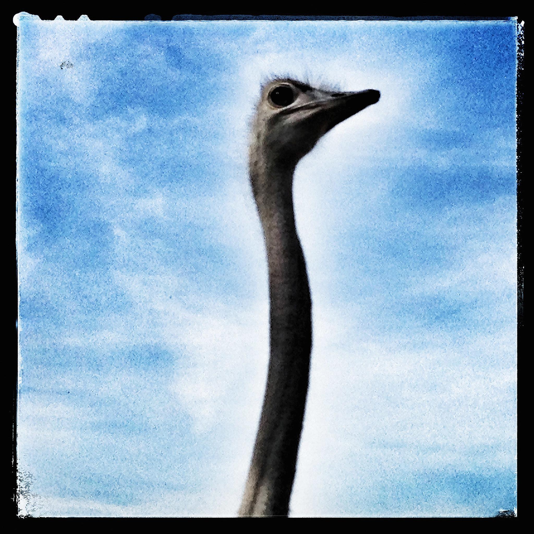 Austere Ostrich