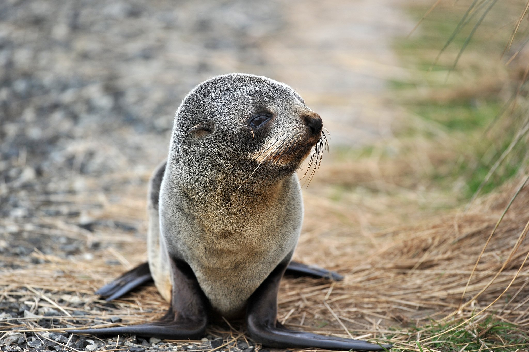 Fur seals are generally smaller than sea lions, but their flippers are proportionately much larger.