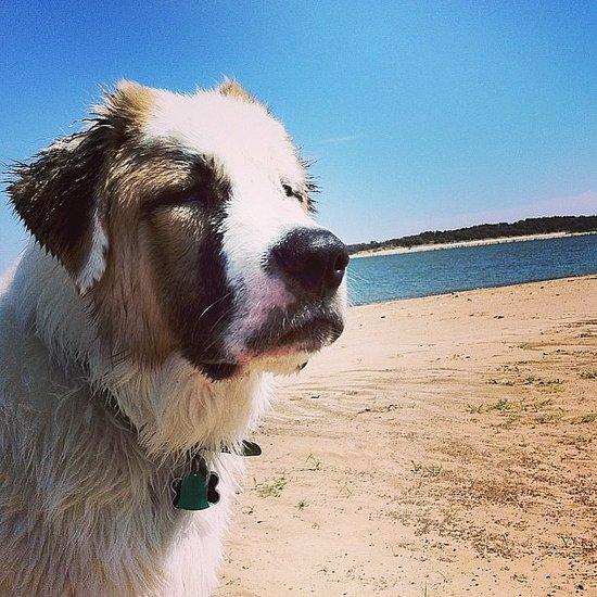 Pet of the Week: Saint Bernard Loves the Beach