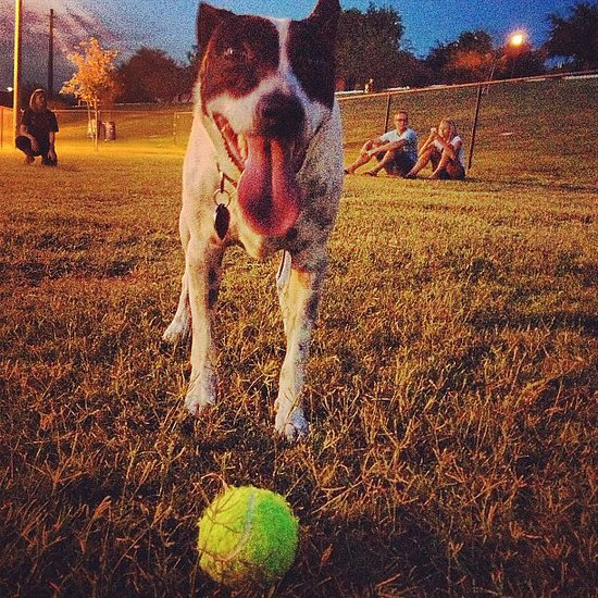 Pet of the Week: Rat Terrier Loves Playing Ball