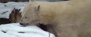 Lincoln Park Zoo Keeps Polar Bear Indoors During Frigid Weather