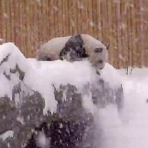 Panda Bear Falls at Toronto Zoo | Video and GIF