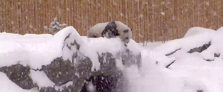 Aww! This Cuddly Panda Took a Snowy Tumble