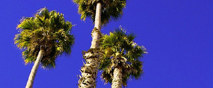 Cool Capture: Towering Palm Trees