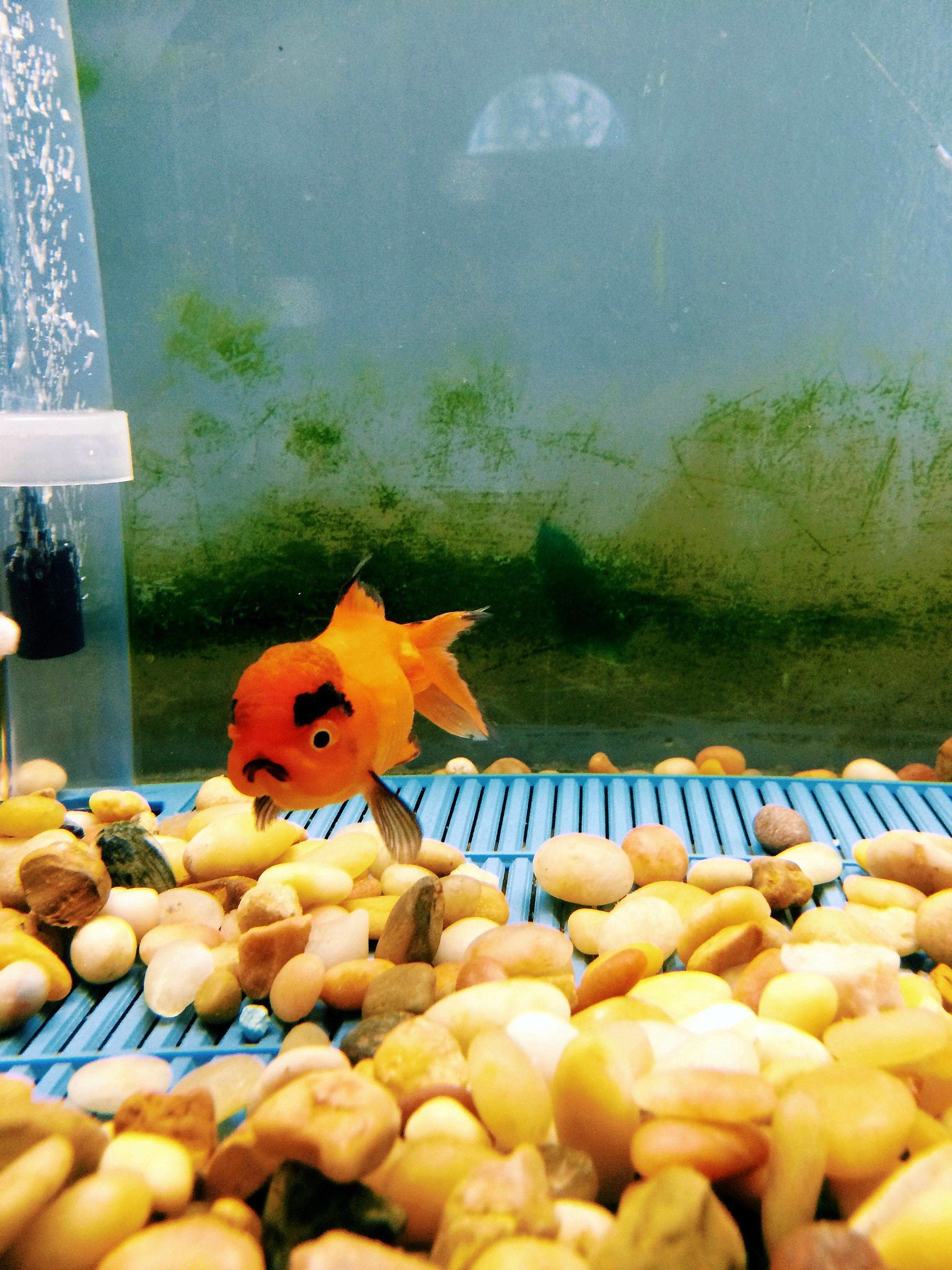 """""""I just bought the angriest goldfish of all time."""" Source: Reddit user brovanz via Imgur"""