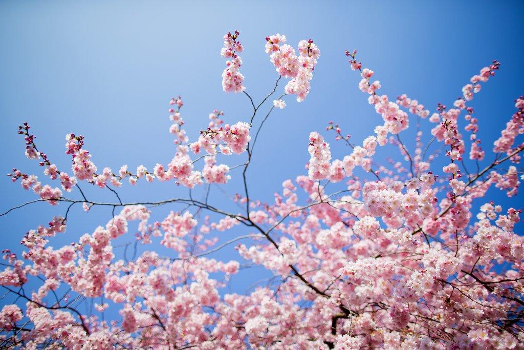 Bright, flowering cherries bloomed in Münster, Germany.