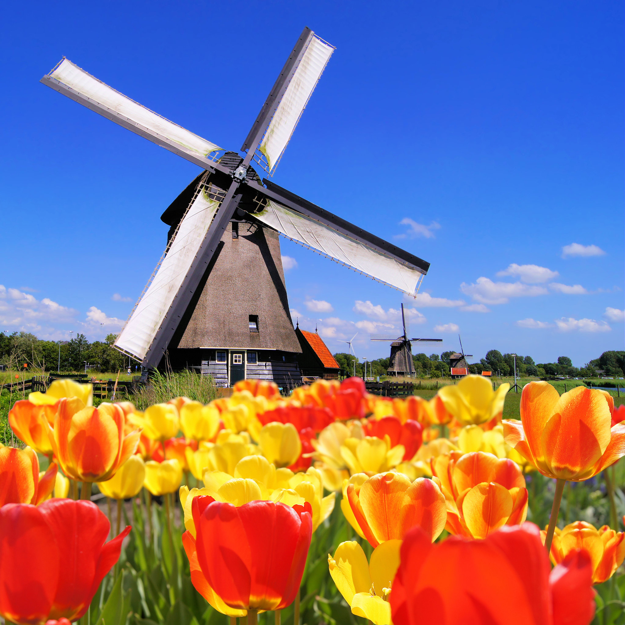 Frolic Among the Tulips in Holland