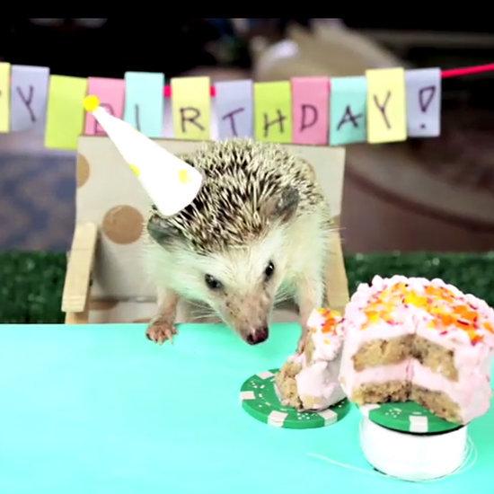 Hedgehog Eating Tiny Cake | Video
