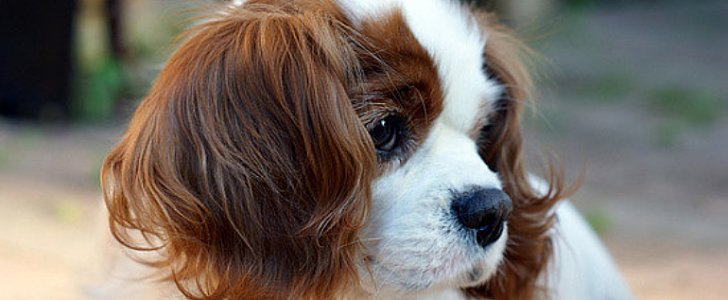 The Charming Cavalier King Charles