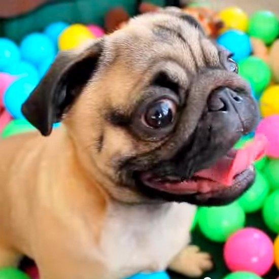 Why We Love Pugs
