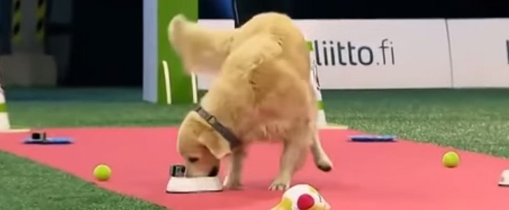 This Golden Retriever May Have Lost the Competition, but He Totally Won Us Over